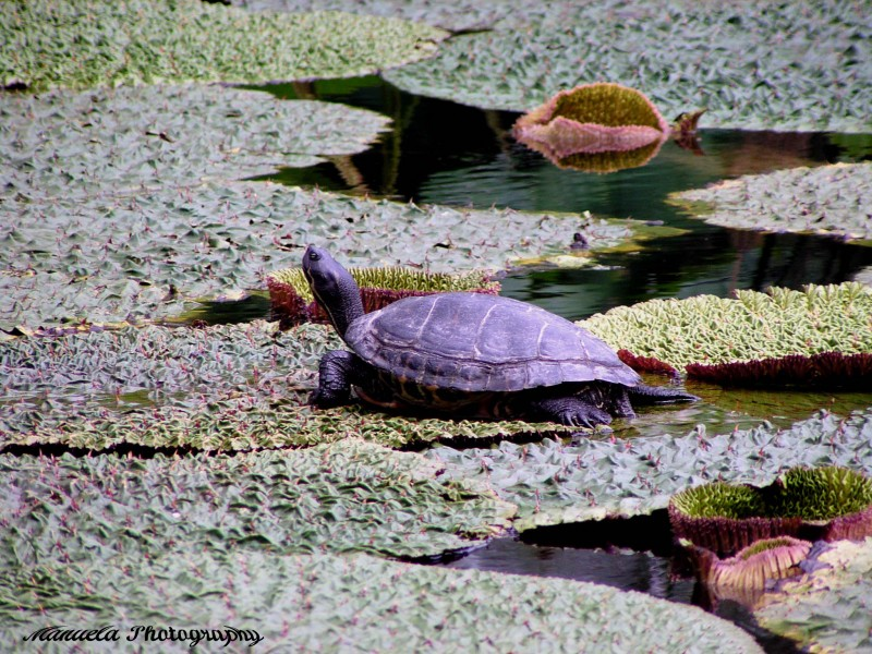turtle water pond