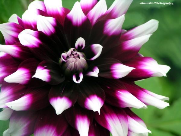 dahlia, flower, bloom, purple, white
