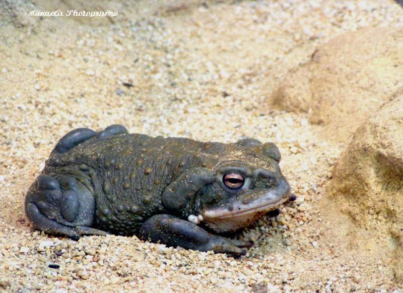 frog, sand, pond, terrarium