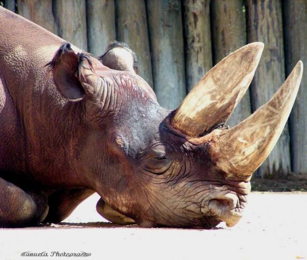 rhinoceros, zoo, mammal, rhino