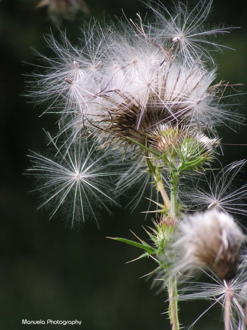 dandelion, plant, flower, seeds, bloom