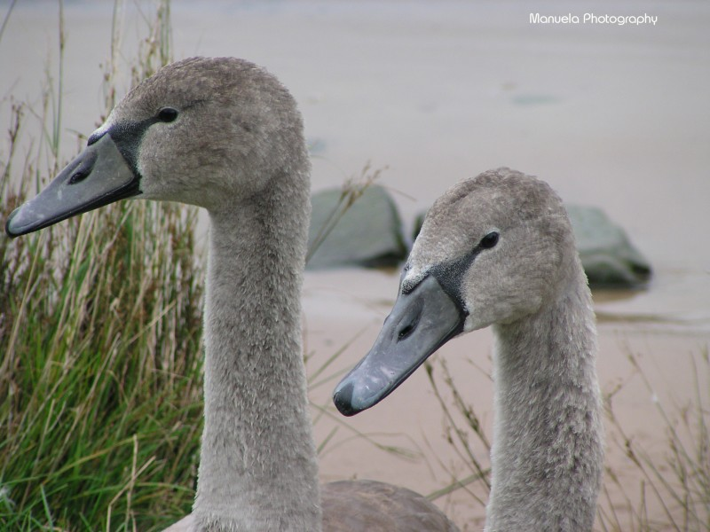 swan, water, river, shore, grey, young, baby