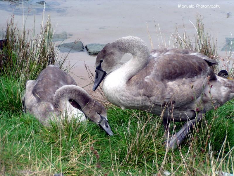swan, water, river, shore, young, grey