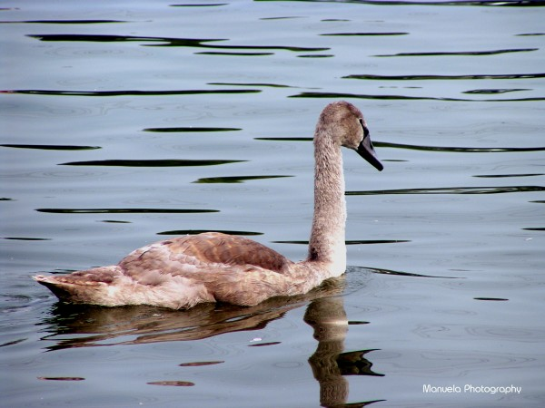 swan, water, river, shore, grey, brown, young