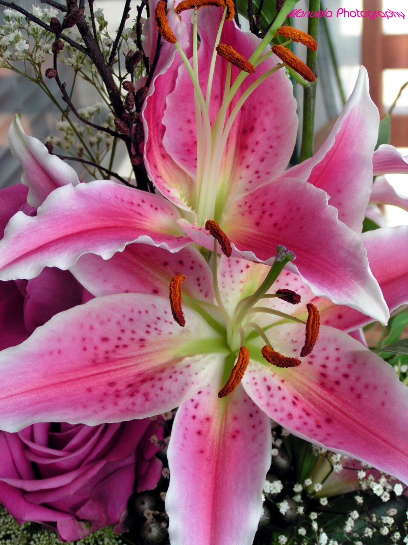 lily, pink, flower, bloom,