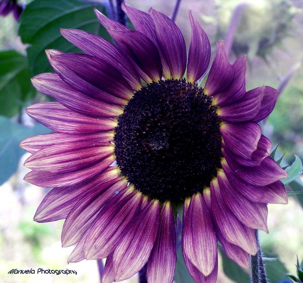 purple, sunflower, bloom, flower