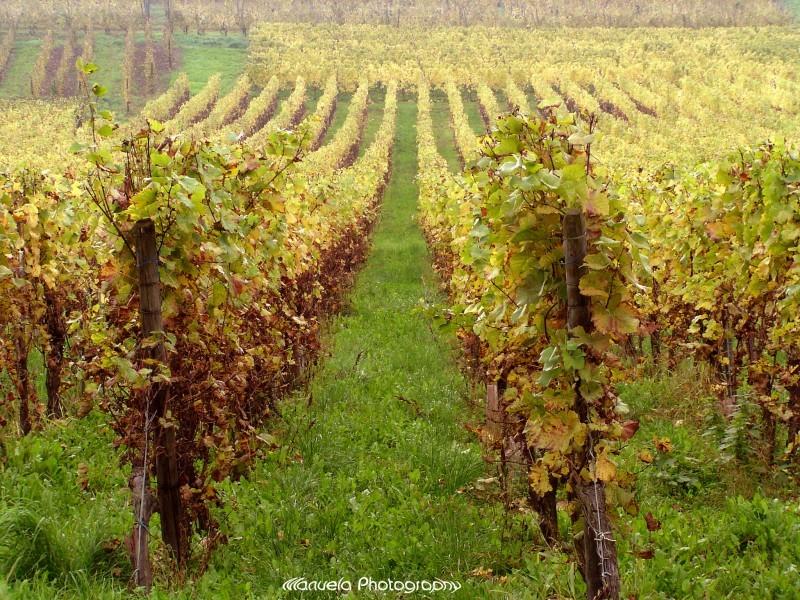 wine vineyard autumn alsace france