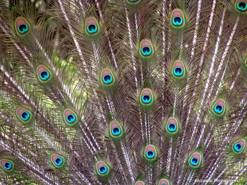 bird feather germany spring peacock fasanerie