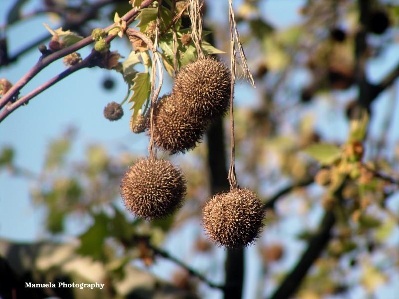 tree branch sky kolen germany chestnut
