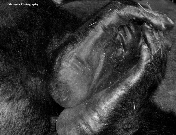 gorilla monkey primate zoo animal