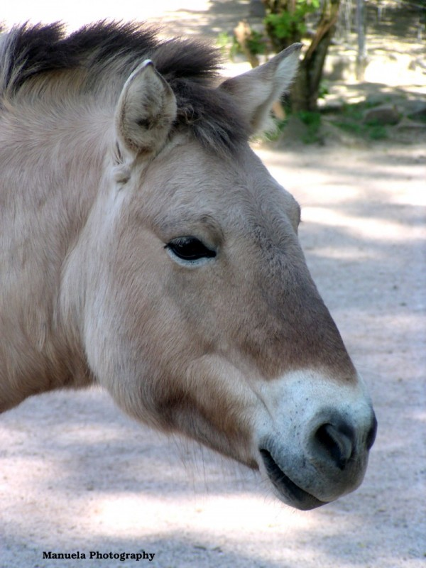 wild horse animal zoo asia przewalski