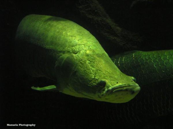 lungfish fish brazil amazona aquarium water