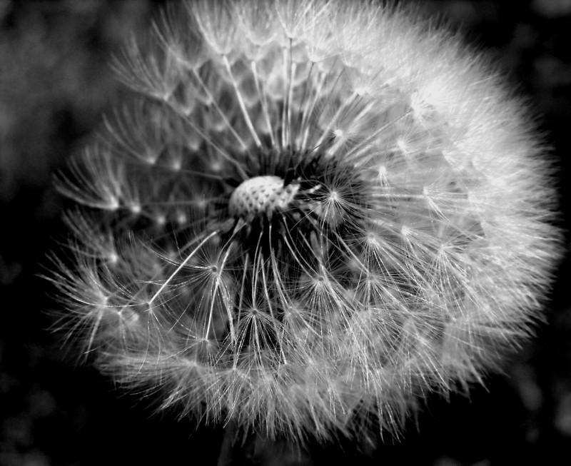 wind dandelion spring seed