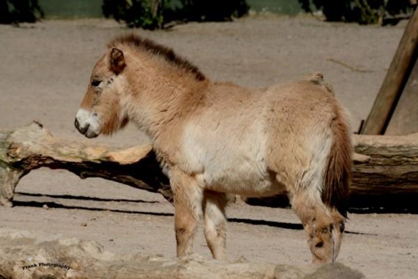 przewalski wild horse mongolia