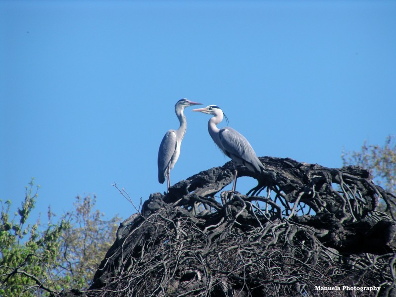 heron bird nest tree couple mating