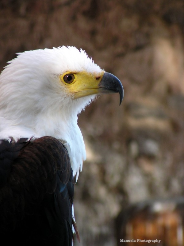 eagle fish africa alsace bird france bird of prey