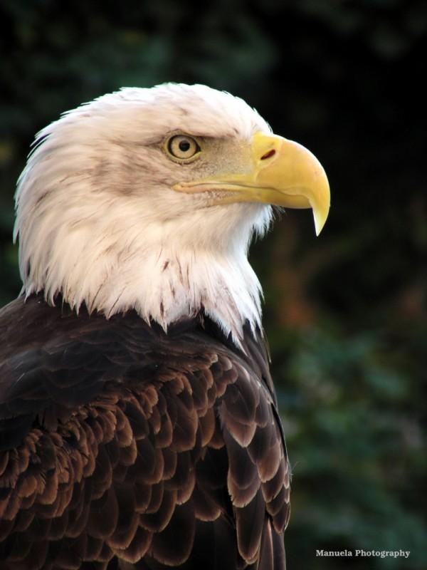 eagle bald bird bird of prey alsace france