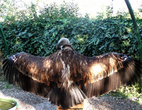bird vulture france alsace wings