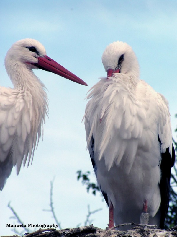 white stork stork nest bird alsace france couple