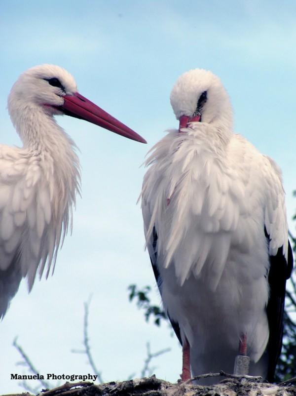 white stork stork nest bird alsace france couple