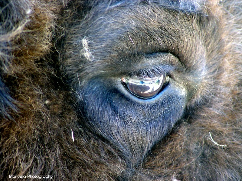 bison eye wildpark fasanerie