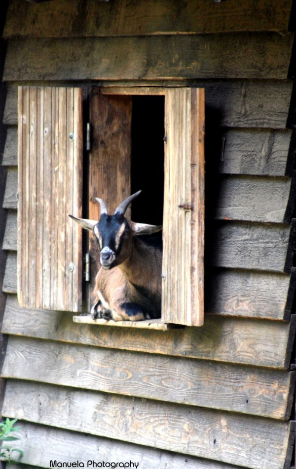 goat window wildpark fasanerie