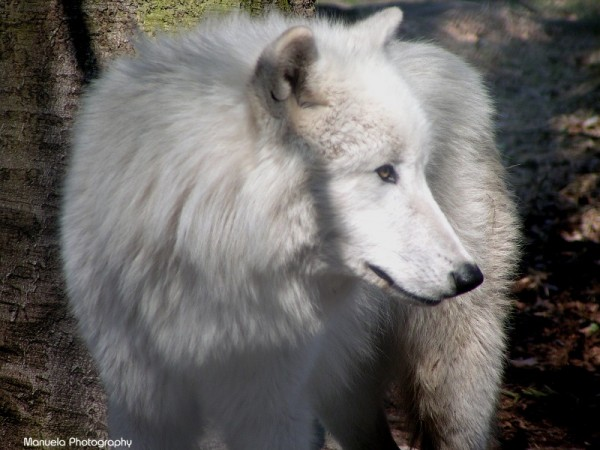 wolf wild wildpark fasanerie animal artic white