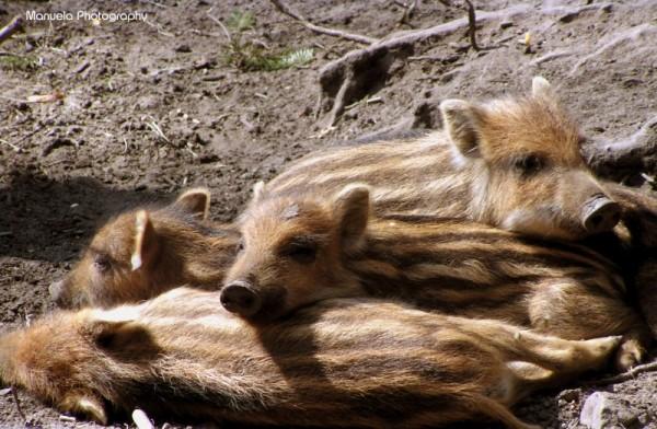wood wild pig fasanerie wildpark piglet forest boa