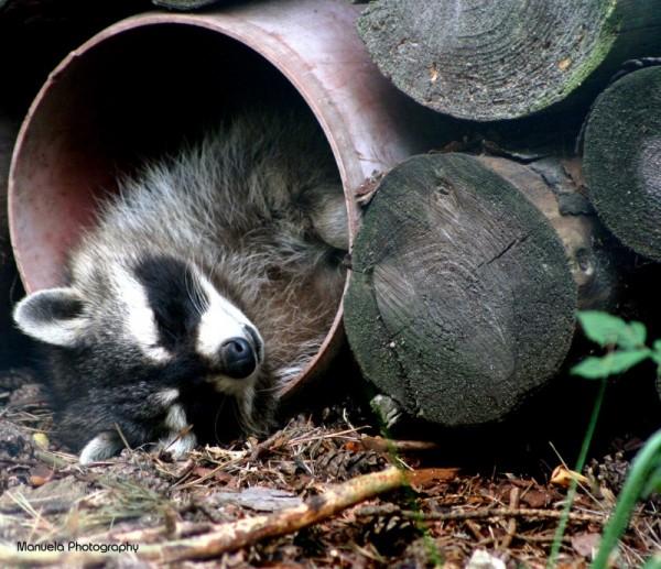 raccoon wood forest wildpark wild animal fasanerie