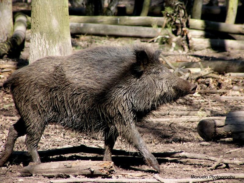 pig wild boar woods forest wildpark fasanerie germ