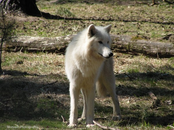 wolf artic white animal wildpark woods forest wild