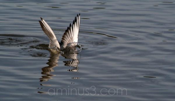 seagull bird river shore water germany hainburg