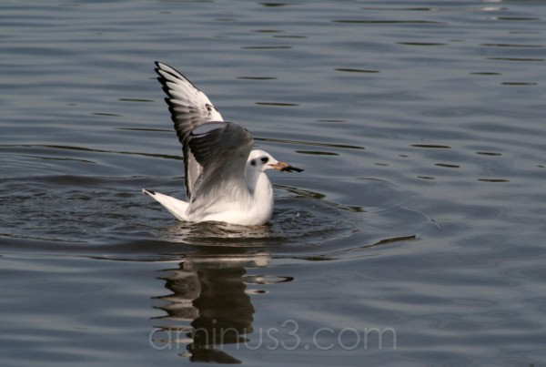 seagull bird river shore water germany hainburg
