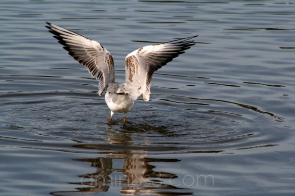 bird water river seagull shore germany hainburg