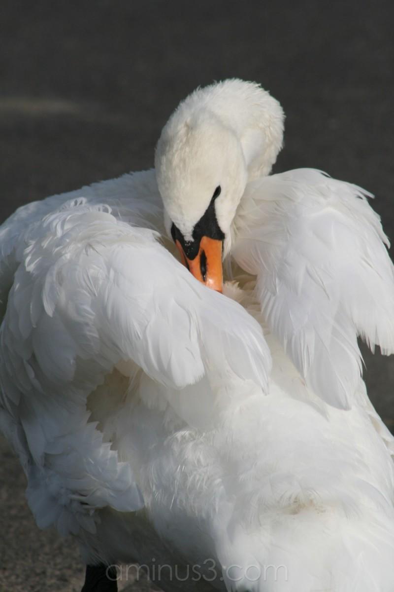 duck bird water river shore hainburg germany swan