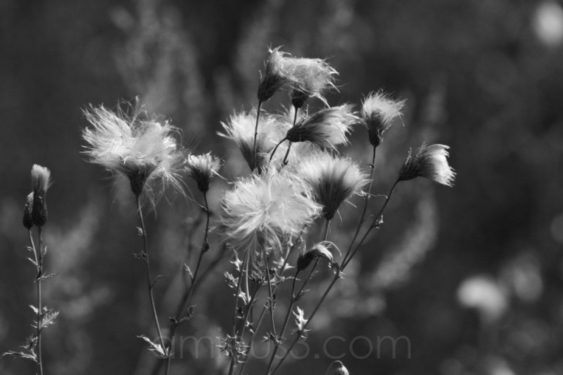 fields country seeds fluff germany dandelion light