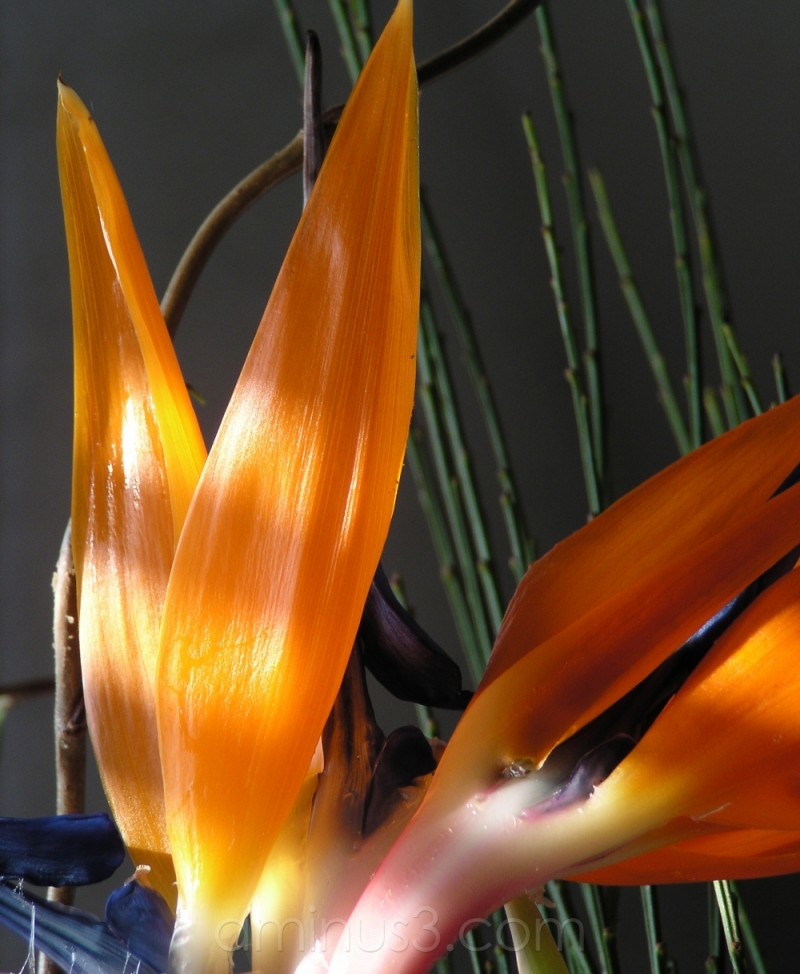 bird of paradise, bouquet, flowers, strelitzie