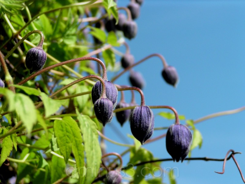 blue flower bloom plant spring clematis