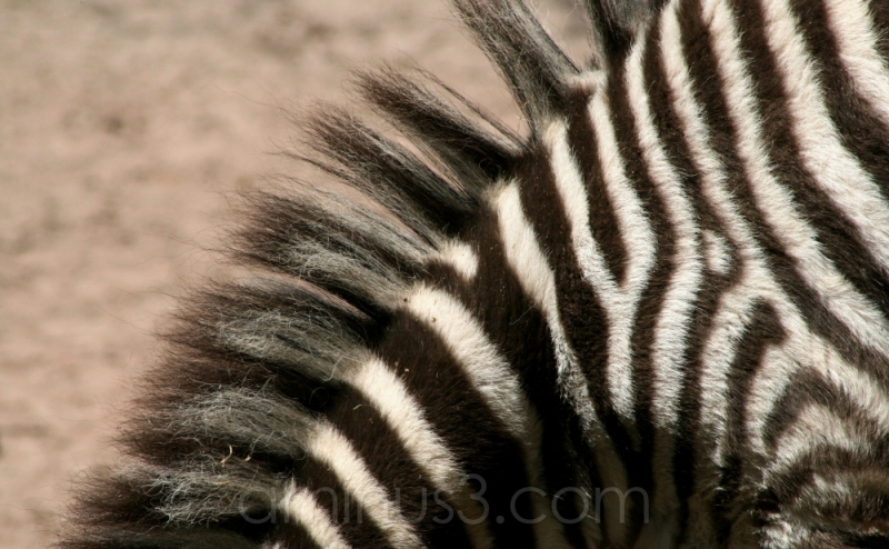zebra stripes animal darmstadt germany vivarium
