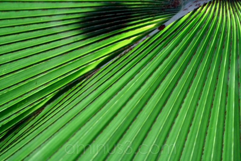 leaf green tree lines fan palmengarten