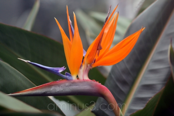 bird of paradise bloom flower tropical gardens