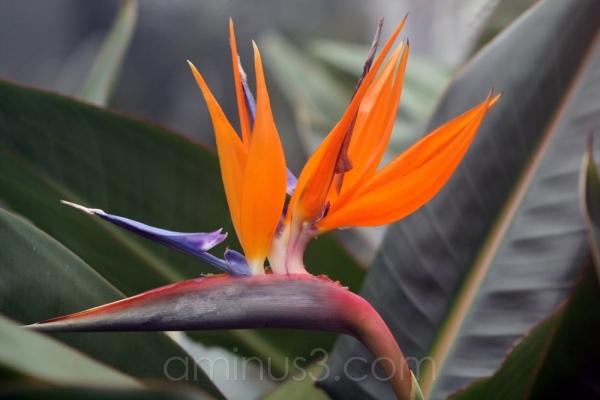 bird of paradise bloom flower tropical gardens