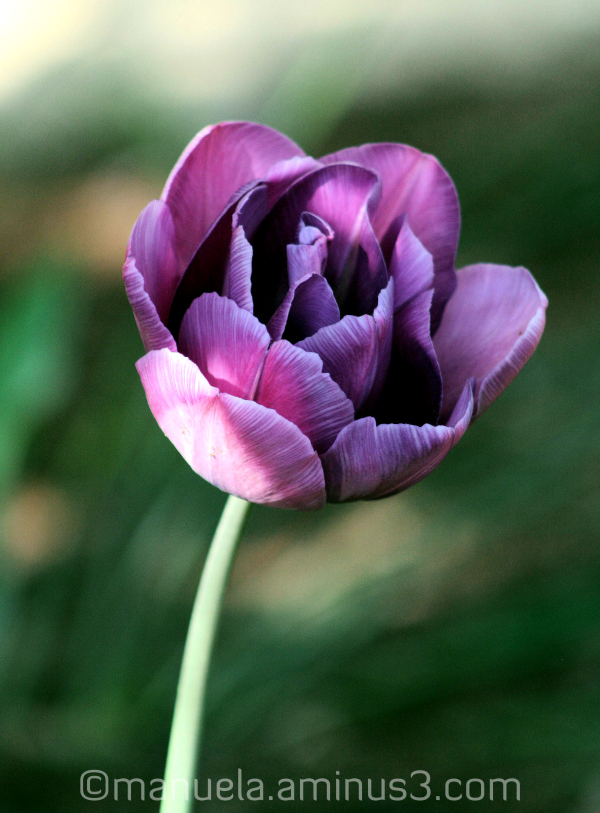 tulip flower bloom spring germany purple