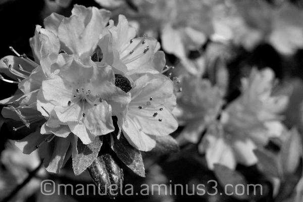 bloom flower spring black&white germany