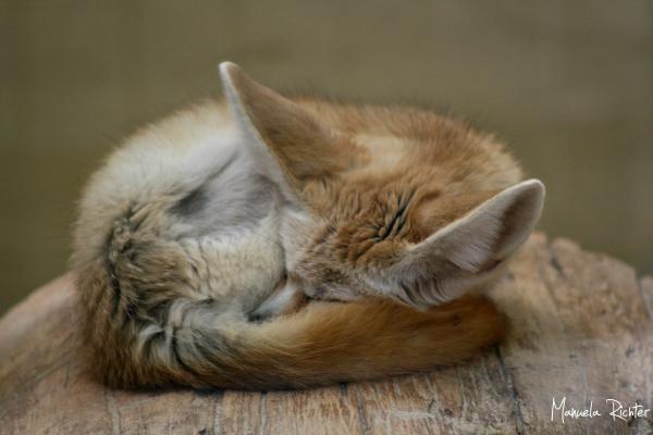 sleepy fennec fox animal vivarium darmstadt