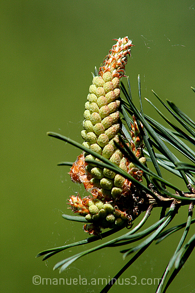branch tree pine twig bud spring wood germany