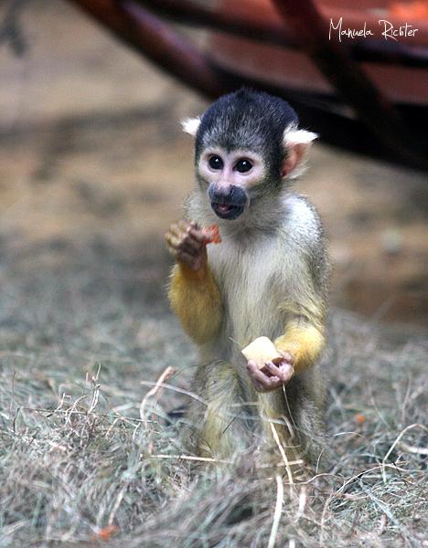 monkey primate animal park vivarium darmstadt germ