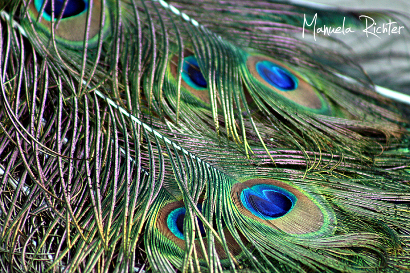 peacock feathers eyes tail vivarium darmstadt germ