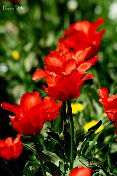 tulip red flower bloom spring vivarium darmstadt g