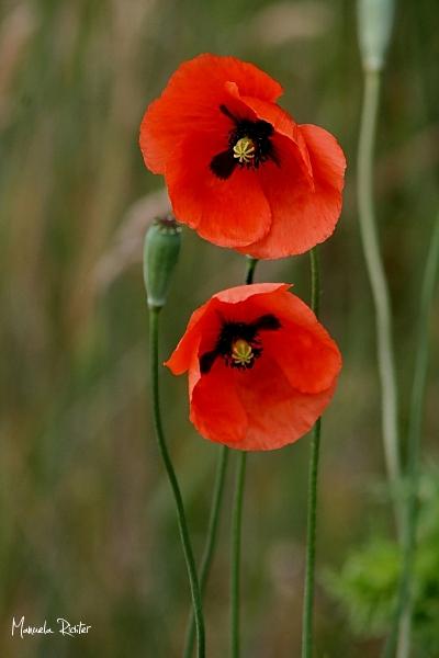 red poppies poppy flower bloom garden summer